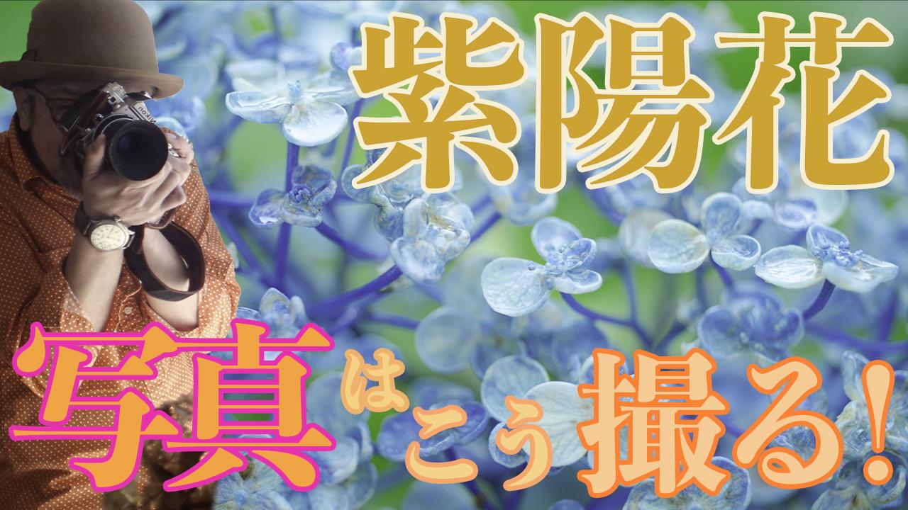 紫陽花写真の撮り方_花の撮り方
